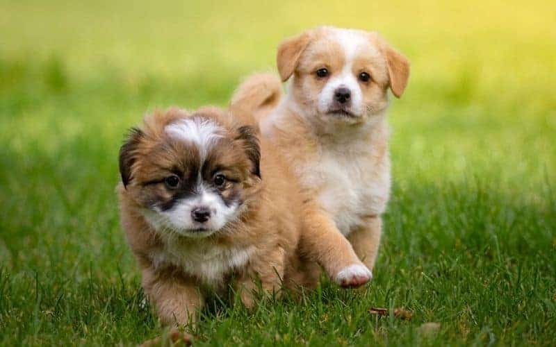 8 Best Small Dog Breeds In India